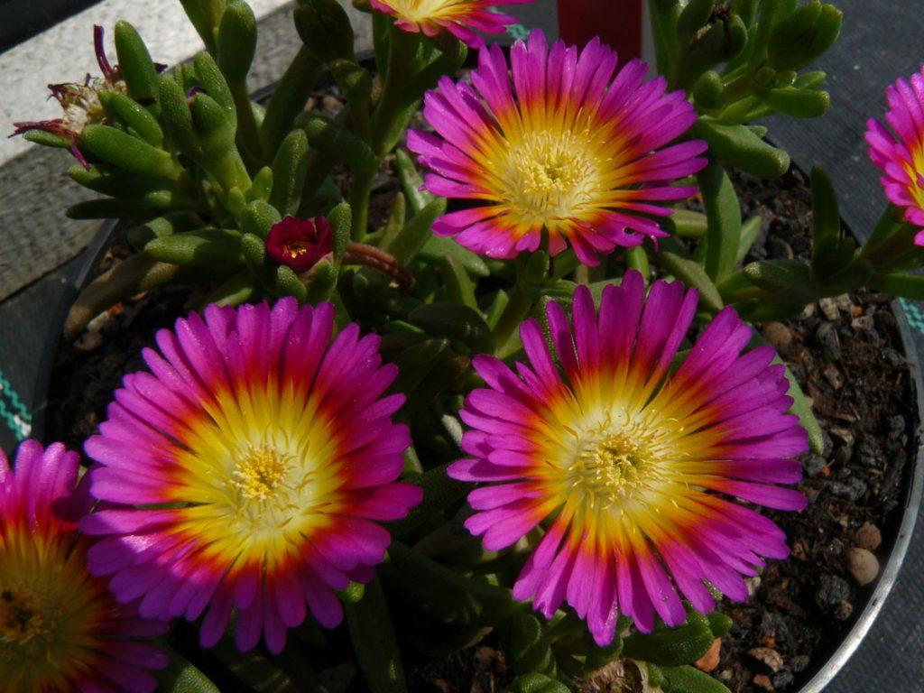 Eigenzüchtung 2014 Bio Mittagsblume Delosperma hyb. 'Sunset' wählen Sie die Bio Mittagsblume Ihrer Wahl im Online Pflanzen Versand aus über 80 Sorten.