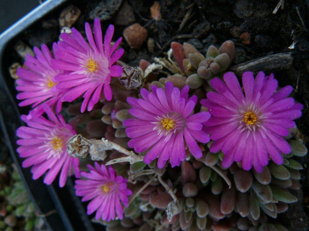 Bio Mittagsblume Delosperma x luckhofii 'Eugen's Radieschen' (E. Schleipfer) wählen Sie die Bio Mittagsblume Ihrer Wahl im Online Pflanzen Versand aus über 80 Sorten.