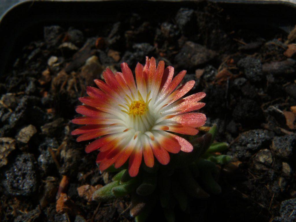 Eigenzüchtung Bio Mittagsblume Delosperma x luckhofii 'Raymond Mhlaba' wählen Sie die Bio Mittagsblume Ihrer Wahl im Online Pflanzen Versand aus über 80 Sorten.
