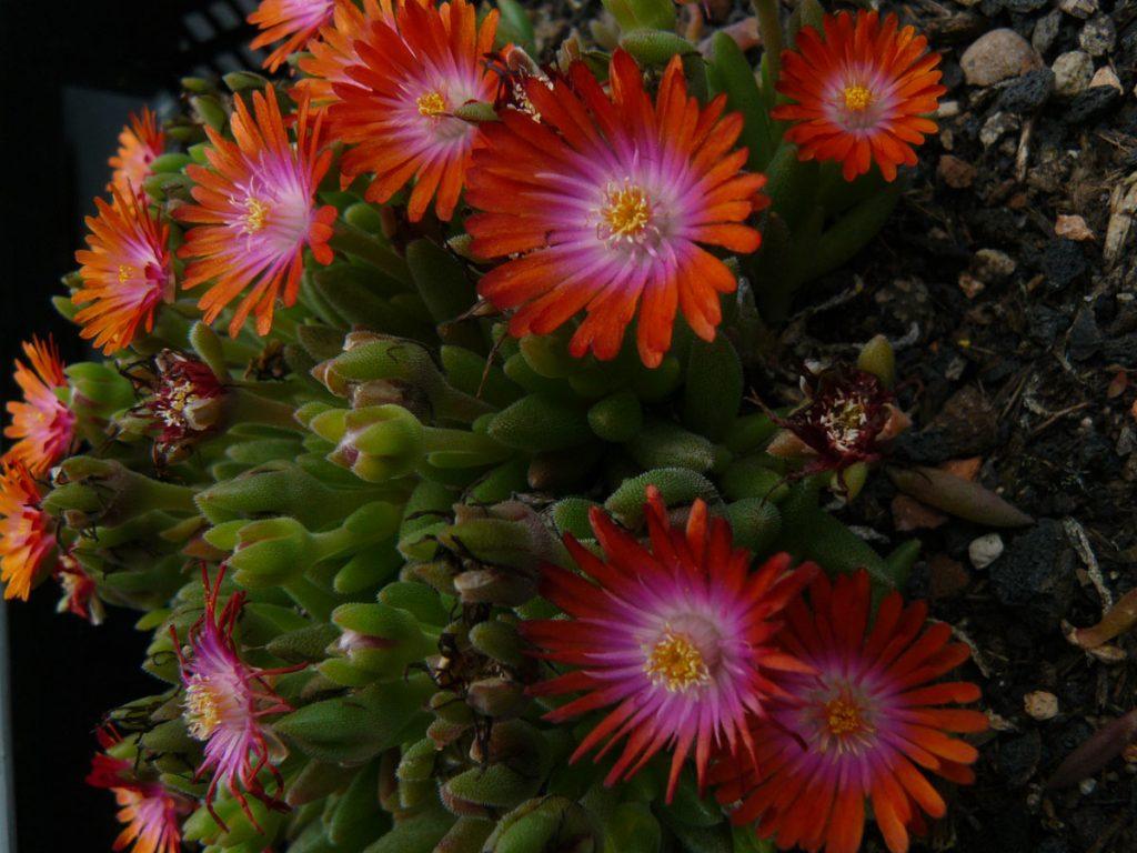 Eigenzüchtung Bio Mittagsblume Delosperma x luckhofii 'Ahmed Kathrada' Online im Pflanzen Versand in bester Bio Qualität bestellen.