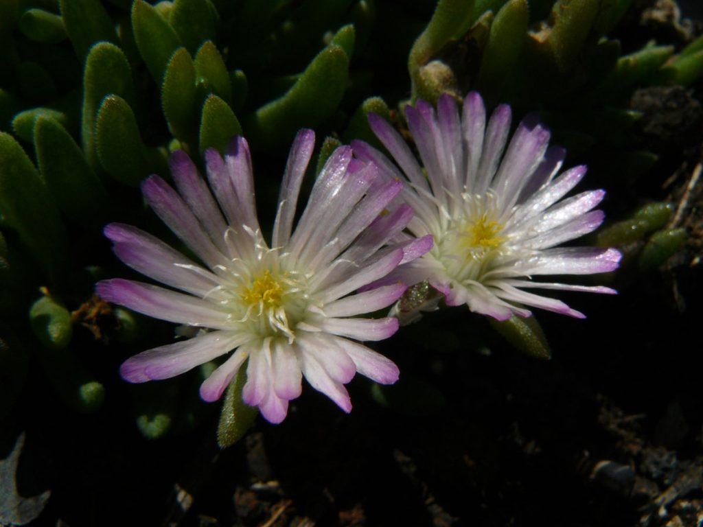 Eigenzüchtung Bio Mittagsblume Delosperma x luckhofii 'Helen Zille' wählen Sie die Bio Mittagsblume Ihrer Wahl im Online Pflanzen Versand aus über 80 Sorten.
