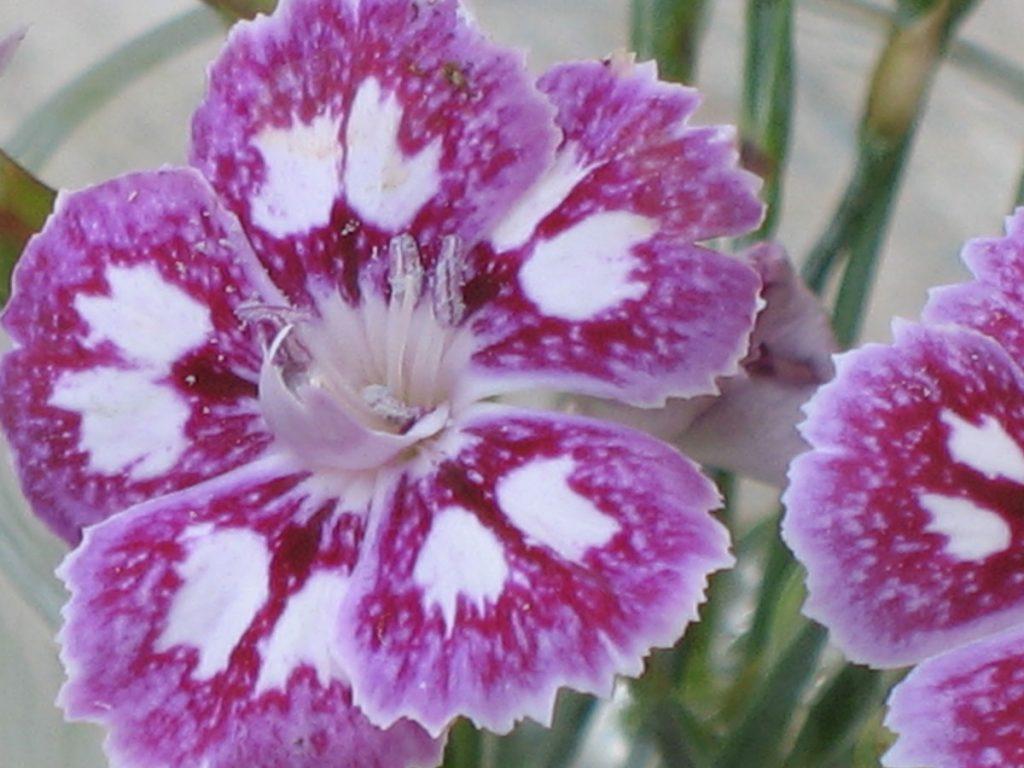 Bio Pfingst Nelke Dianthus gratianopolitanus 'Jane Austen' Staudengärtnerei Forssman Beste Bio Stauden aus Bayern Online per Versand