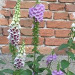 Bio Fingerhut Digitalis purpurea 'Gloxiniaeflora' Staudengärtnerei Forssman Beste Bio Stauden aus Nieder-Bayern Online per Versand