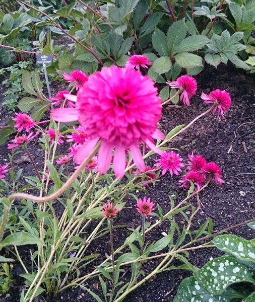echinacea purpurea 39 de hessenhof 39 staudeng rtnerei forssman. Black Bedroom Furniture Sets. Home Design Ideas