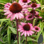Bio Purpur Schein Sonnenhut Echinacea purpurea 'Fatal Attraction'  Bio Stauden Versand Forssman in Niederbayern