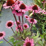 Bio Purpur Schein Sonnenhut Echinacea purpurea 'Fatal Attraction' Staudengärtnerei Forssman Beste Bio Stauden aus Nieder Bayern Online per Versand