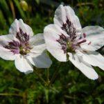 Bio Reiherschnabel Erodium guttatum Bio Kräuter Online im Web Shop von Bio Stauden Forssman zum Versand bestellen