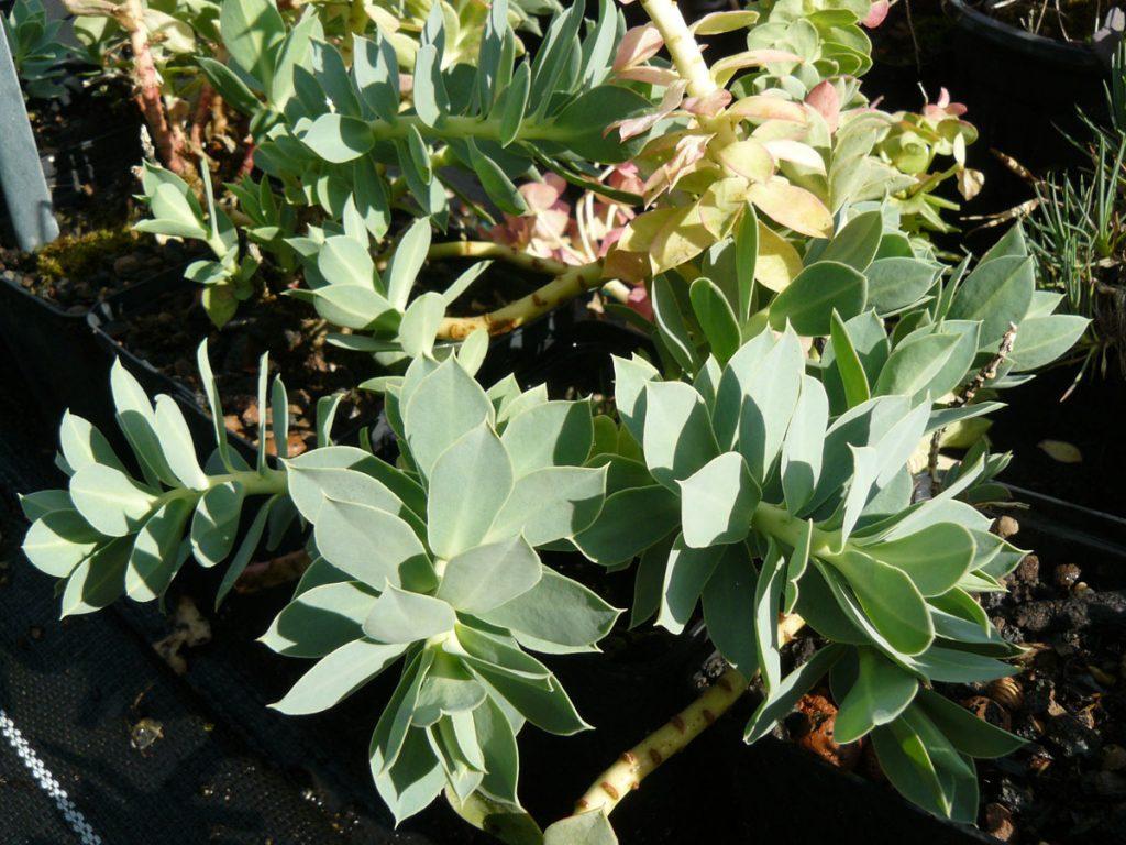 Bio Walzen Wolfsmilch Euphorbia myrsinites Bio Stauden Versand aus Gangkofen in Niederbayern