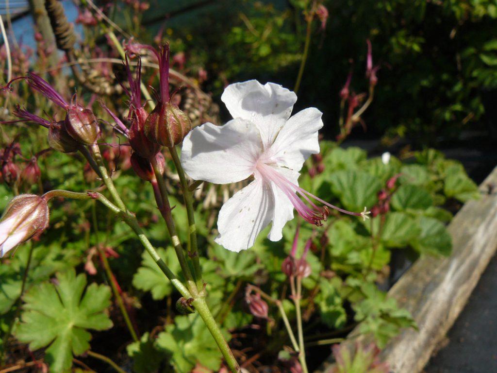Bio Cambridge Storchschnabel Geranium cantabrigiense 'Biokovo' wählen Sie den Bio Storchschnabel Ihrer Wahl im Online Pflanzen Versand aus über 40 Sorten.