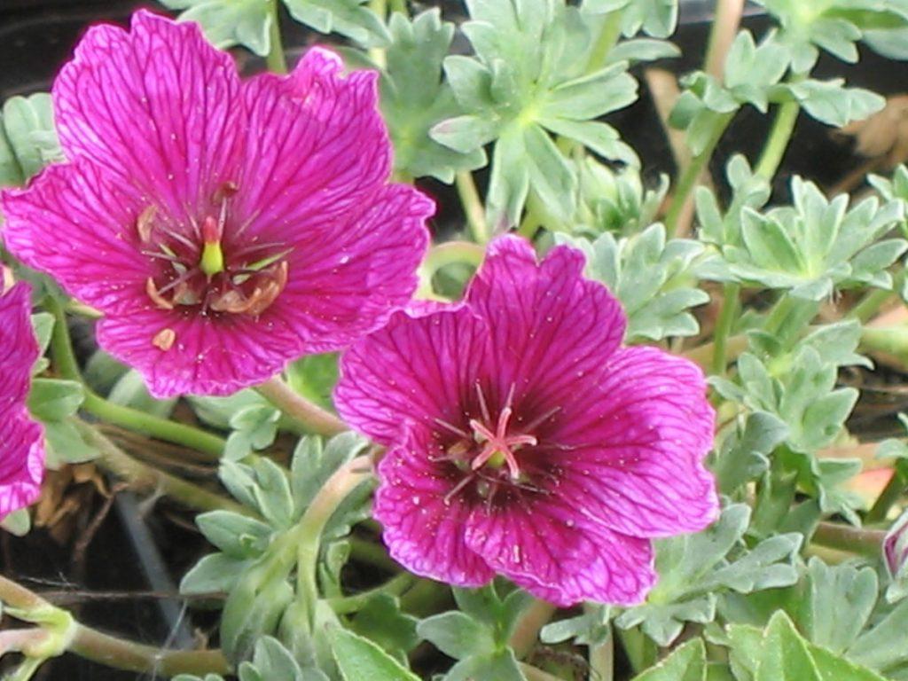Bio Grauer Steingarten Storchschnabel Geranium cinereum 'Purple Pillow' wählen Sie den Bio Storchschnabel Ihrer Wahl im Online Pflanzen Versand aus über 40 Sorten.