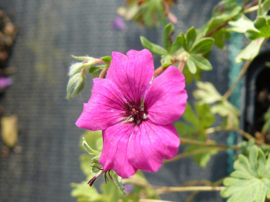 Bio Grauer Steingarten Storchschnabel Geranium cinereum var. subcaulescens 'Purpureum' Beste Bio Stauden aus Bayern im Online Shop bestellen nach München liefern.