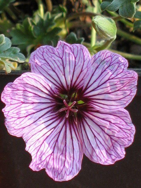 Bio Steingarten Storchschnabel Geranium cinereum var. subcaulescens 'Ballerina' wählen Sie den Bio Storchschnabel Ihrer Wahl im Online Pflanzen-Versand aus über 40 Sorten.