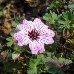 Bio Steingarten Storchschnabel Geranium cinereum var. subcaulescens 'Ballerina'  Forssman Bio Stauden Versand in Niederbayern