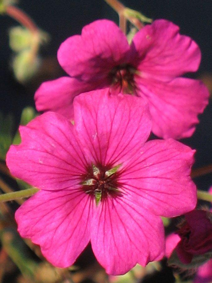 Bio Steingarten Storchschnabel Geranium cinereum var. subcaulescens 'Signal' wählen Sie den Bio Storchschnabel Ihrer Wahl im Online Pflanzen-Versand aus über 40 Sorten.
