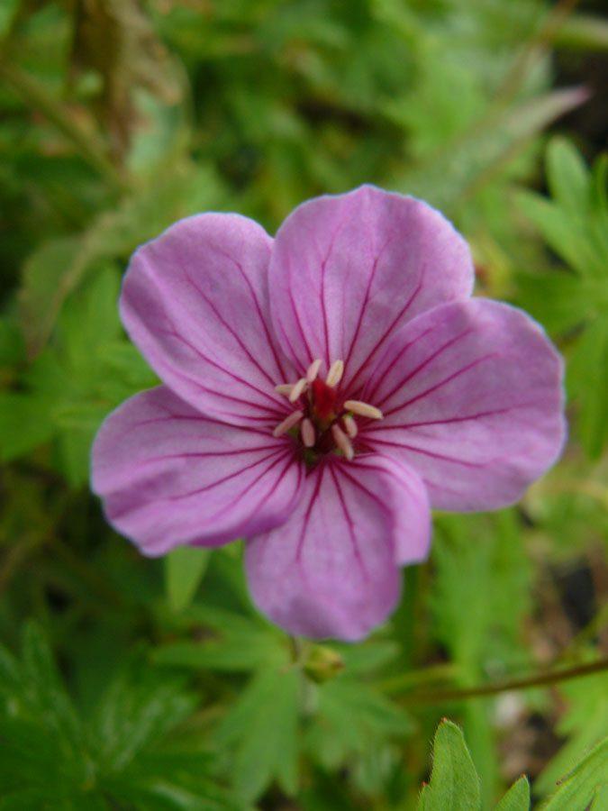Bio Storchschnabel Geranium hyb. 'Light Dilys' wählen Sie den Bio Storchschnabel Ihrer Wahl im Online Pflanzen-Versand aus über 40 Sorten.
