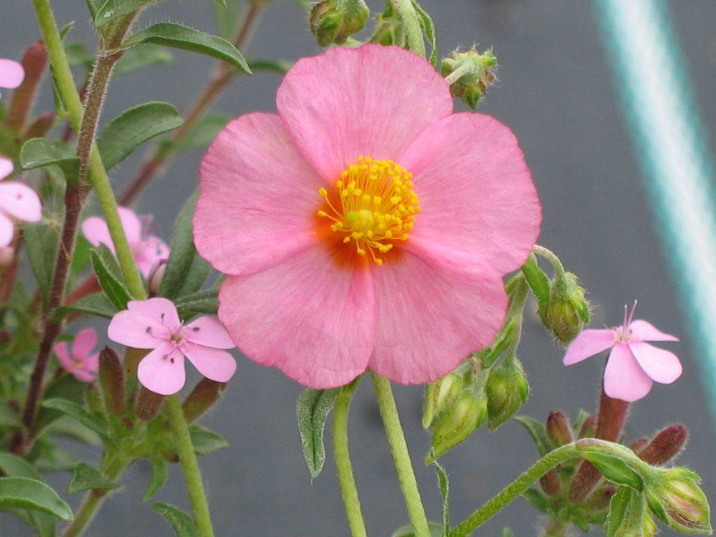 Bio Sonnenröschen Helianthemum hyb. 'Lawrenson's Pink' Bio Stauden Versand aus Gangkofen in Niederbayern