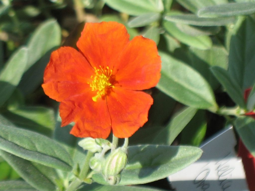 Bio Sonnenröschen Helianthemum hyb. 'Red Dragon/Orange Queen' Bio Kräuter Online im Web-Shop von Bio Stauden Forssman zum Versand bestellen