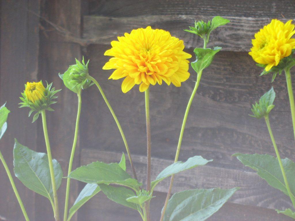 Bio Stauden Sonnenblume Helianthus decapetalus 'Soleil d'Or' Bio Stauden Versand aus Gangkofen in Niederbayern