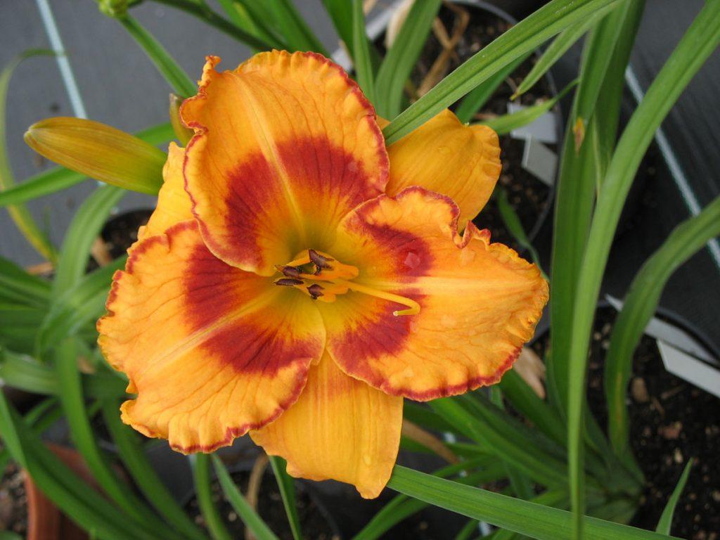 Bio Taglilie Hemerocallis hyb. 'All fired up' wählen Sie die Bio Taglilie Ihrer Wahl im Online Pflanzen-Versand aus fast 100 Sorten.