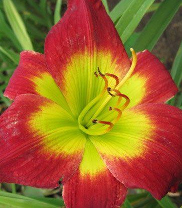 Bio Taglilie Hemerocallis hyb. 'Christmas Is' wählen Sie die Taglilie Ihrer Wahl aus fast 100 Sorten.