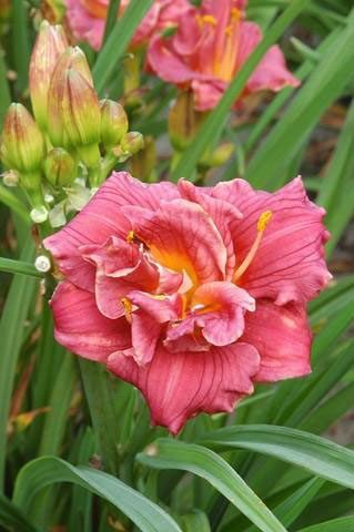 Bio Taglilie Hemerocallis hyb. 'Cute As Can Be' wählen Sie die Taglilie Ihrer Wahl aus fast 100 Sorten.