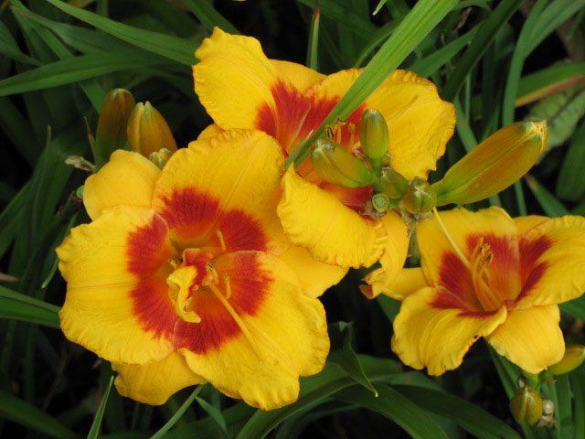 Bio Taglilie Hemerocallis hyb. 'Fooled Me' wählen Sie die Bio Taglilie Ihrer Wahl im Online Pflanzen-Versand aus fast 100 Sorten.