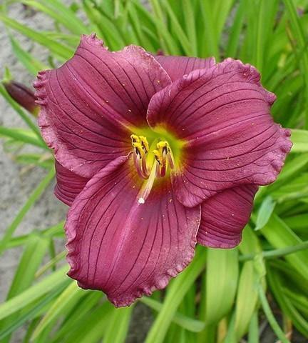 Bio Taglilie Hemerocallis hyb. 'Grape Velvet' wählen Sie die Taglilie Ihrer Wahl aus fast 100 Sorten.