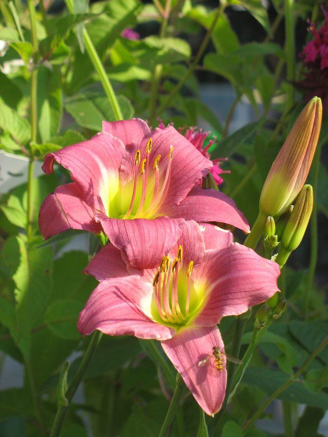 Bio Taglilie Hemerocallis hyb. 'Little Lavender Lassie' wählen Sie die Taglilie Ihrer Wahl aus fast 100 Sorten.