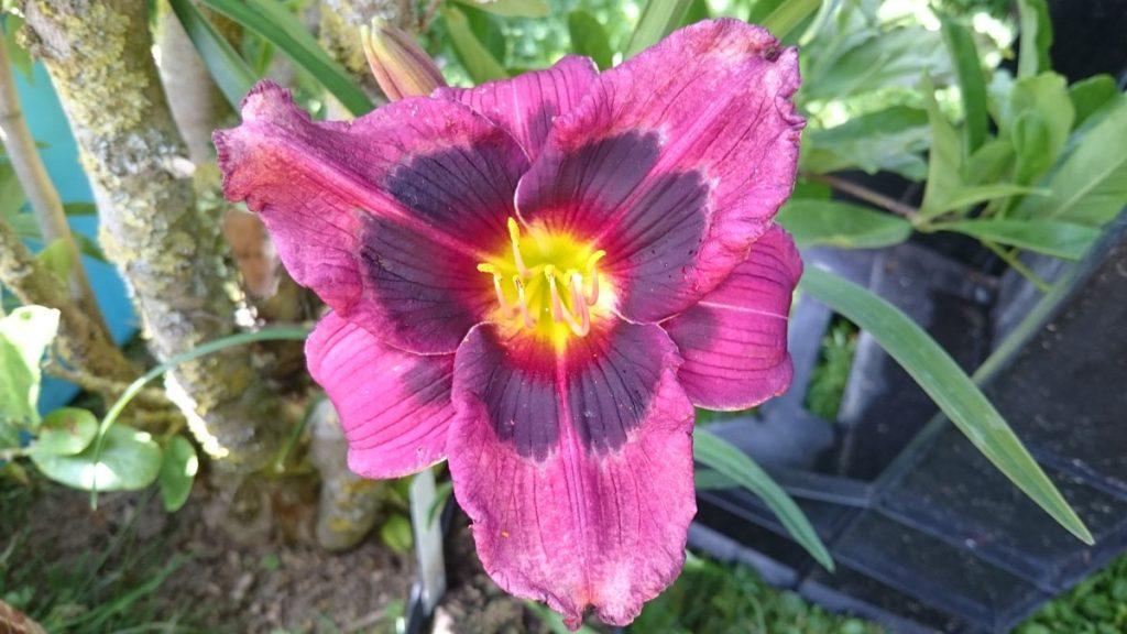 Bio Taglilie Hemerocallis hyb. 'Midnight Dynamite' wählen Sie die Bio Taglilie Ihrer Wahl im Online Pflanzen-Versand aus fast 100 Sorten.