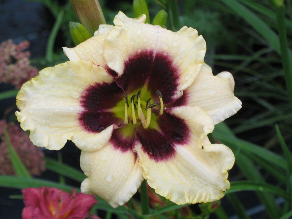 Bio Taglilie Hemerocallis hyb. 'Piano Man' wählen Sie die Taglilie Ihrer Wahl aus fast 100 Sorten.