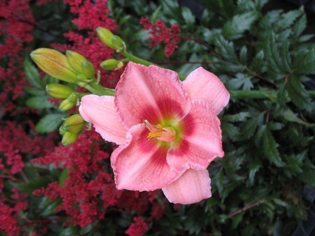Bio Taglilie Hemerocallis hyb. 'Rose Of Avalanche' wählen Sie die Bio-Taglilie Ihrer Wahl im Online Pflanzen-Versand aus fast 100 Sorten.