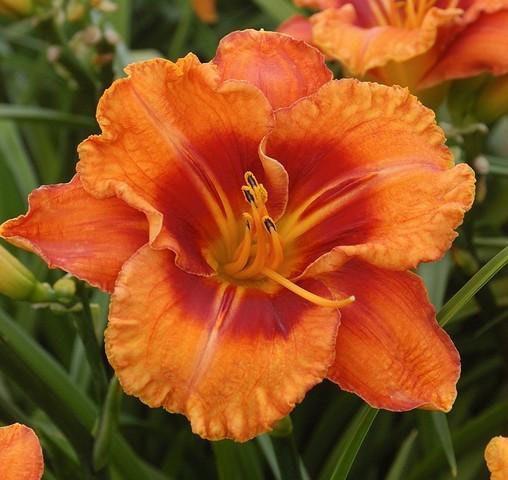 Bio Taglilie Hemerocallis hyb. 'Tiggerling' wählen Sie die Bio Taglilie Ihrer Wahl im Online Pflanzen-Versand aus fast 100 Sorten.