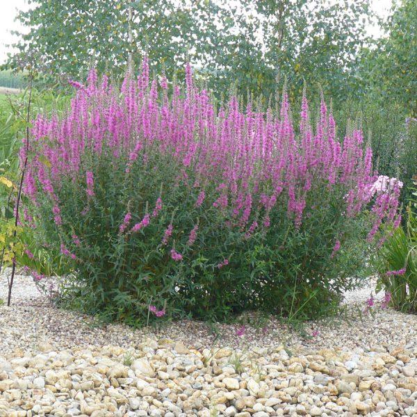 lythrum salicaria 39 robert 39 staudeng rtnerei forssman. Black Bedroom Furniture Sets. Home Design Ideas
