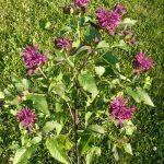 Bio Indianernessel Monarda fistulosa 'Saxon Purple' Bio Stauden kaufen im Online Versand Forssman