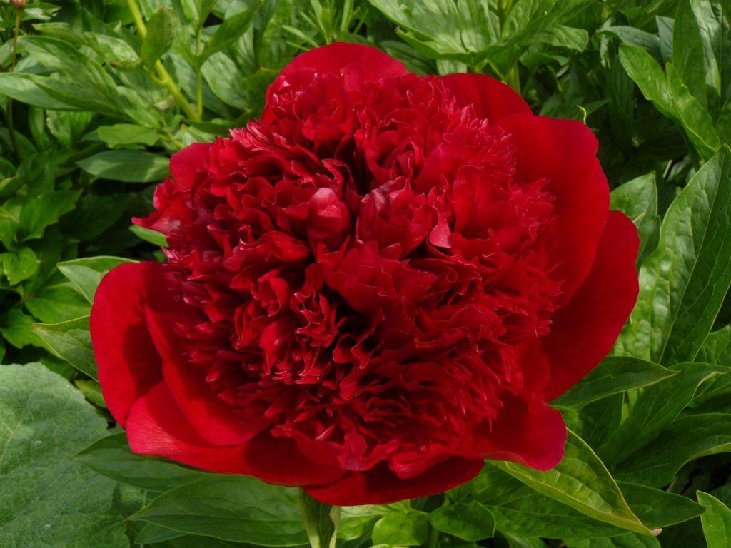 Bio Pfingstrose Paeonia lactiflora x officinalis 'Red Charm' wählen Sie die Bio Pfingstrose Ihrer Wahl im Online Pflanzenversand aus über 60 Sorten