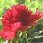 Bio Pfingstrose Paeonia lactiflora x officinalis 'Red Charm' Bio Kräuter Online im Web Shop von Bio Stauden Forssman zum Versand bestellen