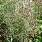 Bio Ruten Hirse Panicum virgatum 'Heavy Metal' Stauden Forssman Bio Pflanzenversand in Niederbayern