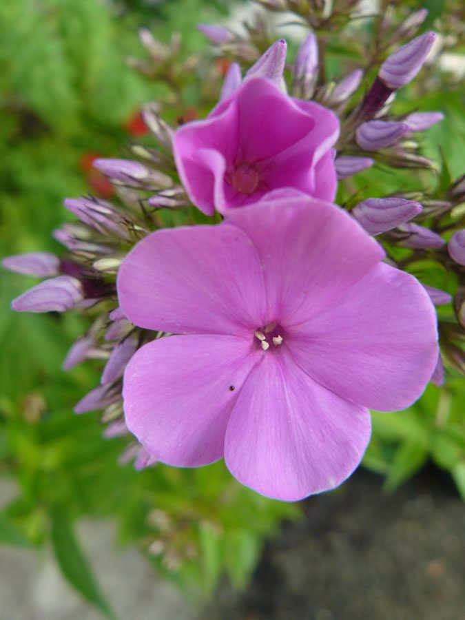 Bio Breitblatt Phlox amplifolia 'Princess Strudza' wählen Sie den Bio Phlox Ihrer Wahl im Online Pflanzen Versand aus fast 300 Sorten.