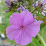 Bio Großblatt Phlox amplifolia 'Princess Strudza' Staudengärtnerei Forssman Beste Bio Stauden aus Bayern Online per Versand