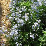 Bio Wald Phlox divaricata 'Clouds of Perfume'  Stauden Forssman Bio Pflanzenversand in Niederbayern