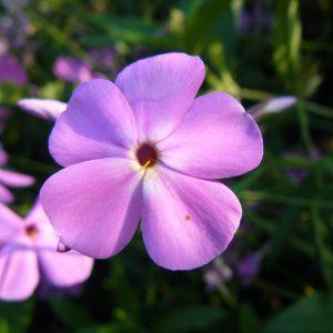 Bio Vorsommer Wander Phlox glaberrima ssp. triflora 'Bill Baker' Online bestellen via Versand Bio Stauden nach München geliefert