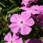 Bio Vorsommer Wander Phlox glaberrima ssp. triflora 'Bill Baker' Stauden Forssman Bio Pflanzen Versand in Niederbayern