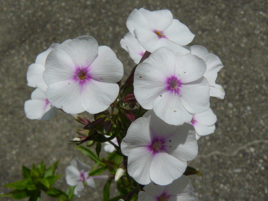 Bio Wiesen Phlox maculata 'Reine du Jour' Online bestellen via Versand Bio-Stauden aus Niederbayern geliefert