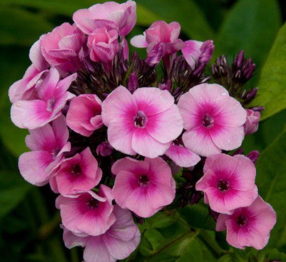 Bio Hoher-Stauden-Phlox paniculata 'Baby Face' wählen Sie den Bio-Phlox Ihrer Wahl im Online Pflanzen-Versand aus fast 300 Sorten.