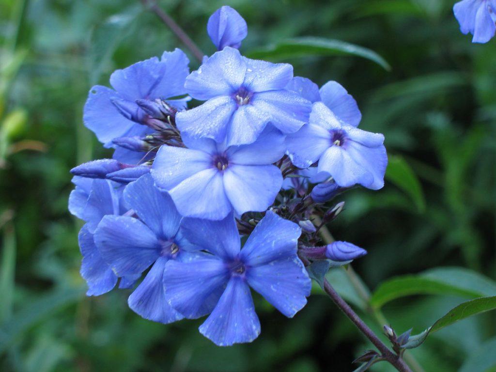 Bio Flammenblume Hoher-Stauden-Phlox paniculata 'Blue Paradise' im Online-Shop bestellen und per Versand nach München geliefert bekommen.