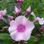 Eigenzüchtung Bio Flammenblume Hoher Stauden Phlox paniculata 'Erdbeereis' Bio Pflanzenversand in Niederbayern Stauden Forssman