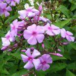 Bio Flammenblume Hoher-Stauden-Phlox paniculata 'Flieder mit rot-Garten' Forssman Bio Pflanzenversand in Niederbayern