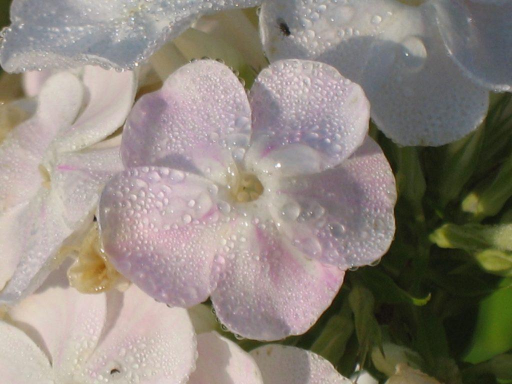 Eigenzüchtung Bio Flammenblume Hoher Stauden Phlox paniculata 'Happy Birthday' per Bio Pflanzenversand online im Web Shop nach München bestellen