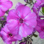Bio Flammenblume Hoher Stauden Phlox paniculata 'Herbstfreude' (syn. 'Autumn Joy') Bio Pflanzenversand in Niederbayern Stauden Forssman
