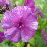 Bio Flammenblume Hoher Stauden Phlox paniculata 'Herbstfreude' (syn. 'Autumn Joy') Forssman Bio Pflanzenversand in Niederbayern